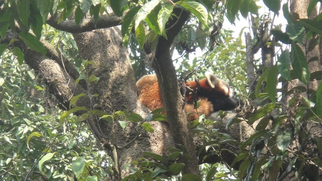 Apparently Red Pandas spend a lot of time sleeping...