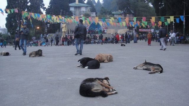It's a dog day afternoon in Chowrasta, Darjeeling.