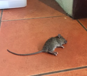 Drop Rat